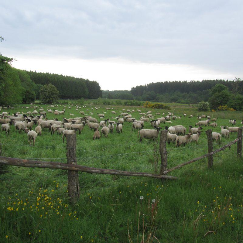 2. Pâturage de la zone humide Conzefenn par le troupeau d'un berger