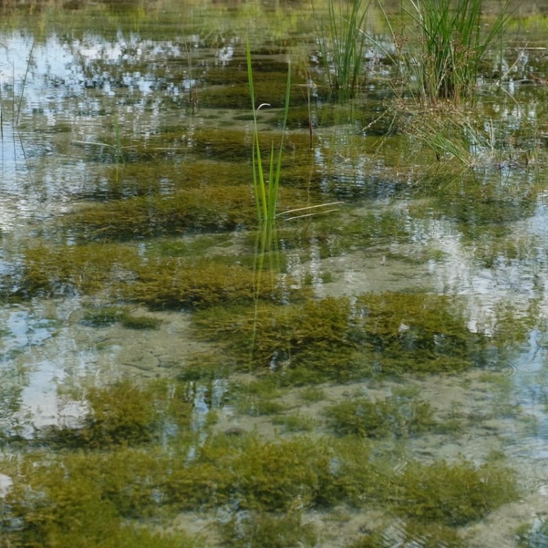Après à peine une année depuis sa création, le fond de la mare est couverte d'algues filigranes, les charagnes (Armleuchteralgen). En raison de l'eutrophisation des eaux, elles sont devenues rares.