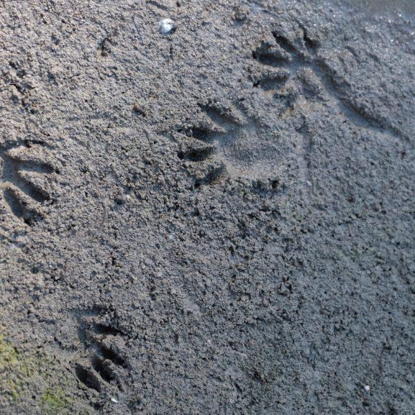 Waschbärspuren am Ufer_traces de raton laveur