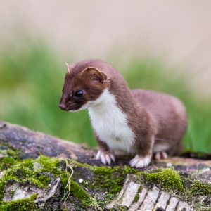 Least Weasel (Mustela nivalis) hunting for food
