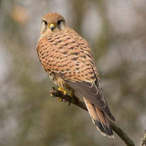 Faucon crécerelle. Famille des Falconidés. Ordre : Falconiformes