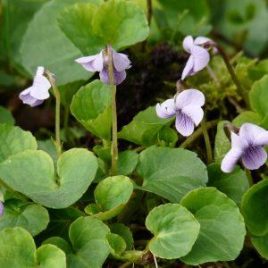 violette-des-marais----viola-palustris----violacees-visoflora-23059