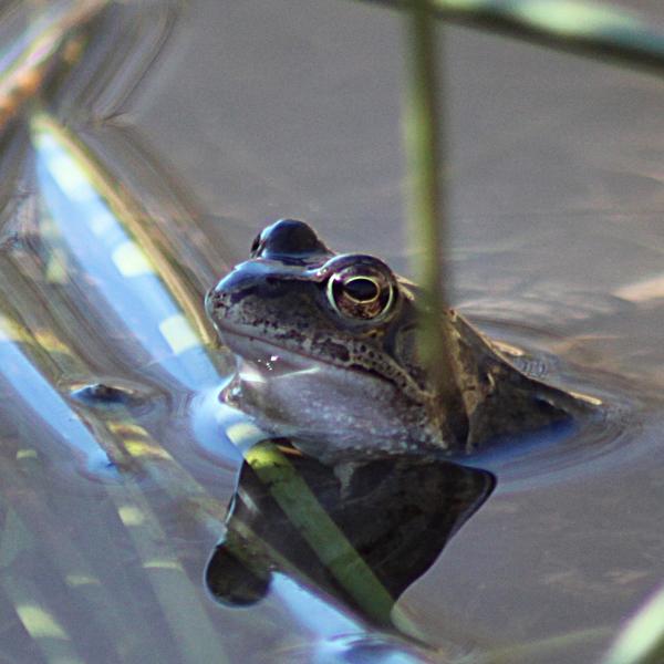 2a WEZ Frog