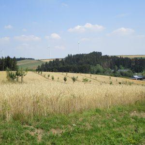 Le verger conservatoire géré en agroforesterie
