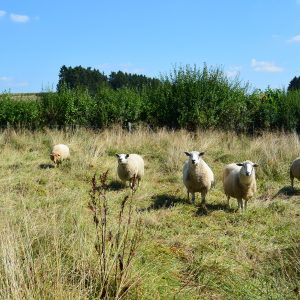 Pâturage extensif des prairies humides avec des moutons